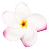 Blooming yellow plumeria frangipani Stock Images