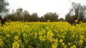 Blooming yellow rape field in an ancient olive garden under the winter rain in Cyprus. Ancient Olive Trees, a collection of landscapes in an old olive garden in stock footage