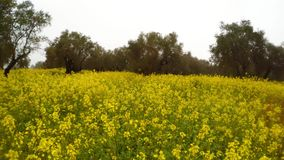 A blooming yellow rape field in an ancient olive garden under a winter rain in Cyprus. Panorama. Ancient Olive Trees, a collection of landscapes in an old olive stock video footage
