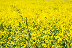 Blooming yellow rape field Stock Images