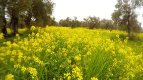 Blooming yellow rapeseed field in an ancient olive garden under the winter pouring rain in Cyprus. Ancient Olive Trees, a collection of landscapes in an old stock footage