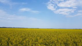 Blooming yellow rapeseed field with blue cloudless sky. Beautiful nature background. Light breeze, sunny day, dynamic scene, 4k video stock footage