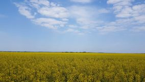 Blooming yellow rapeseed field with blue cloudless sky. Beautiful nature background. Light breeze, sunny day, dynamic scene, 4k video stock video footage