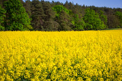 Blooming yellow rapeseed field Royalty Free Stock Photography