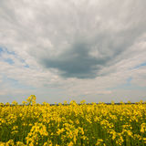 Blooming yellow rapeseed flowers Royalty Free Stock Photos