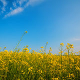 Blooming yellow rapeseed flowers Stock Photography