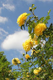 Blooming yellow rose bush in the garden Stock Photo