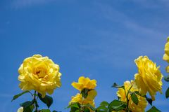 Blooming yellow rose garden with green leaves on light blue sky background on sunshine day, selective focus, Istanbul royalty free stock images