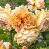 Blooming yellow rose in the garden on a sunny day. David Austin Rose Golden Celebration. Blooming yellow English roses in the garden on a sunny day after rain Royalty Free Stock Photography