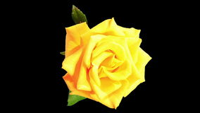 Blooming yellow roses flower buds ALPHA matte. Royalty Free Stock Image