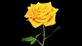 Blooming yellow roses flower buds ALPHA matte, FULL HD Royalty Free Stock Photos
