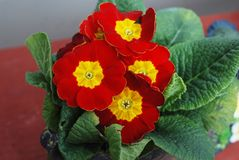Blooming Red Spring Primulas in Pot Flower on Brick Wall Background. CloseUp flower. Blooming Yellow Spring Primulas in Pot Flower on Brick Wall Background Royalty Free Stock Photo
