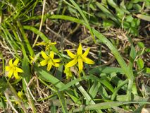 Blooming Yellow Star-of-Bethlehem Gagea lutea closeup, selective focus, shallow DOF Stock Images