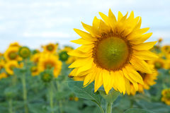 Blooming yellow sunflower with a bee Royalty Free Stock Photography