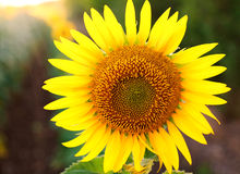 Blooming yellow sunflower closeup on background of green field Stock Photo