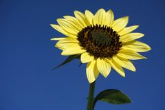 Blooming yellow sunflower flower in the clear blue sunny sky royalty free stock image