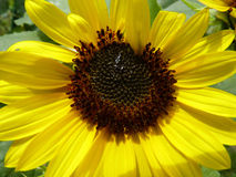 Blooming Sunflower in Garden. Blooming yellow sunflower in garden Stock Images