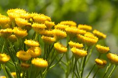 Blooming yellow tansy in a field or on a meadow. Bright sunny flowers tansy blooming in a summer field or on a meadow stock photo