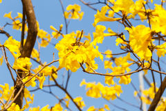 Blooming yellow trumpet flower Royalty Free Stock Image