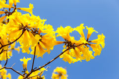 Blooming yellow trumpet flower Royalty Free Stock Photo