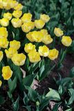 Blooming yellow tulip flower background. The image of the full blooming tulip flower in the garden at spring time Stock Image