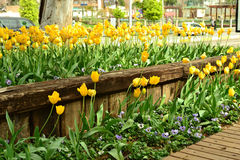 Blooming yellow tulips. Royalty Free Stock Photos