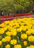 Blooming yellow tulips Royalty Free Stock Images