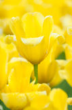 Blooming yellow tulips in spring, close up, shallow depth of fie Stock Images