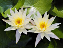 Blooming yellow water lily in a lake Stock Photos