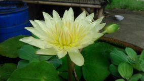 Blooming yellow water lily Royalty Free Stock Photography