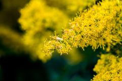 Blooming yellow weeds in an empty lot Stock Photography
