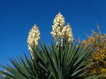 Blooming yucca against blue sky. Autumn flowering yucca in the garden Royalty Free Stock Images