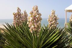 Blooming yucca filamentosa coast of Spain. The nice blooming yucca filamentosa coast of Spain Stock Images