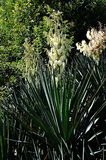 blooming yucca on a flower bed stock image