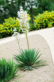 Blooming yucca palm Stock Images