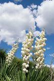 Blooming yucca palm with a huge flower and greenery Stock Photography