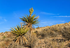 Blooming Yucca PLant in desert, Nevada Stock Photos