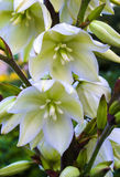 Blooming Yucca. Yucca plants bloom with spikes of white flowers in the summer Royalty Free Stock Photo