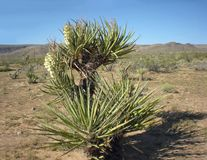 Blooming Yucca Trees Stock Images