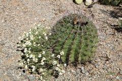 Free Blooming  Zinnia Acerosa (Desert Zinnia)  Next To Fishhook Barr Stock Photography - 52629292