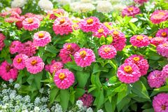 Blooming Zinnia flowers stock photography