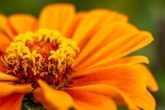 Blooming Zinnia and Lantana Flowers Stock Image