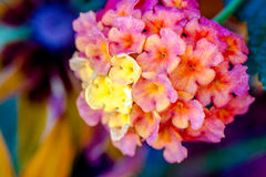 Blooming Zinnia and Lantana Flowers Royalty Free Stock Image