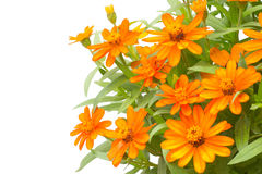 Blooming Zinnias. Isolated on white background Stock Image