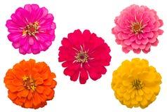 Blooming Zinnias Royalty Free Stock Photos