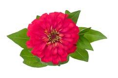 Blooming Zinnias Stock Photos