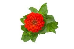 Blooming Zinnias Stock Photo
