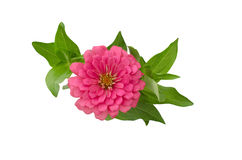 Blooming Zinnias Royalty Free Stock Photography
