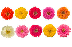 Blooming Zinnias Stock Images