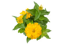 Blooming Zinnias Stock Image
